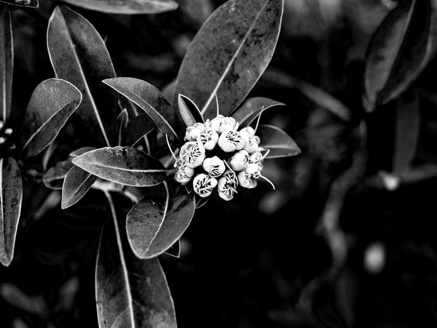 #freetoedit  #digitalphotography #lumix #lumixg3 #panasonic #panasoniclumix #panasoniclumixg3 #mft #microfourthirds #m4/3 #micro4/3 #blackandwhite #edited #flower #plant