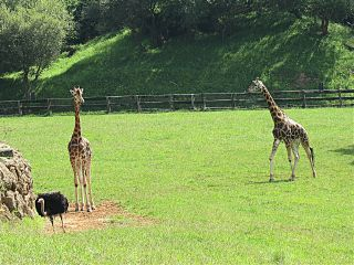 photography giraffe ostrich nature wildlife freetoedit