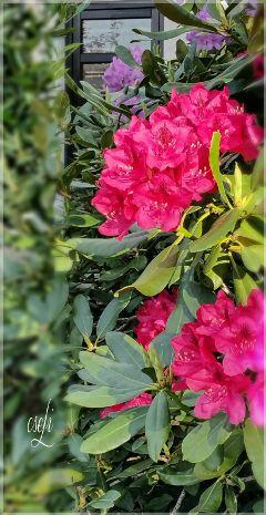 rhododendron purple garden flower flowerslover