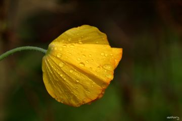 photography myphoto flower drops garden