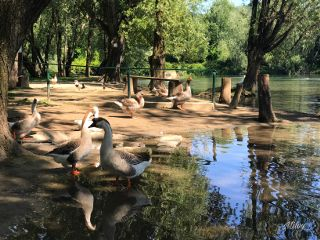 nature sunnyday goose animals river