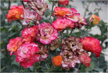 flowers floral blooming blossoms roses