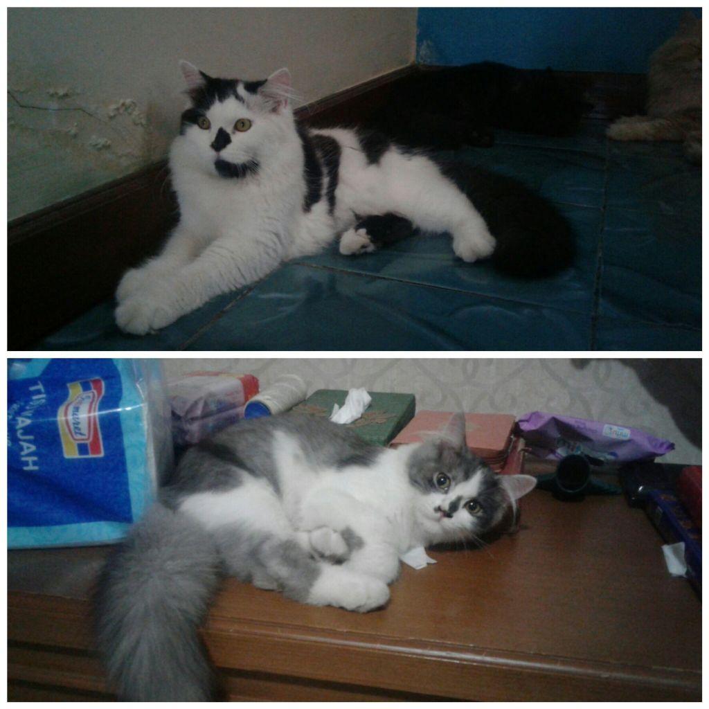 Download 63+  Gambar Kucing Persia Umur 5 Bulan Lucu HD