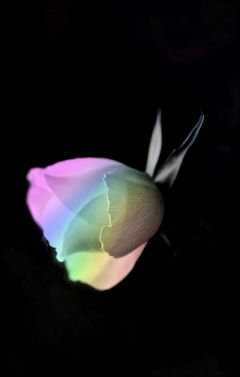 freetoedit rainbowcolors rainbowlight rose