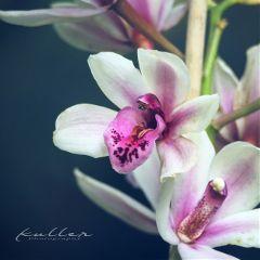 pameeting7 orchids orchideen flower nature