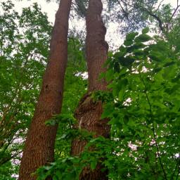 freetoedit treetops treebark forestpark nature