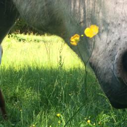 isilove koop horse flower blume