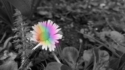 rainbowlightcontest picsart blackandwhite daisy