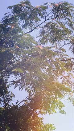 freetoedit tree blooms summer myphoto
