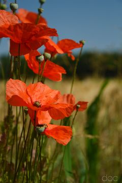 freetoedit photography poppies nature flowers