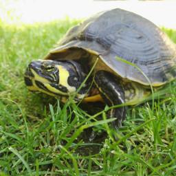 turtles waterturtle freetoedit iloveanimals goodmorningworld