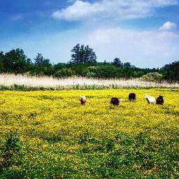 weiland ponies meadow wiese yellowflowers