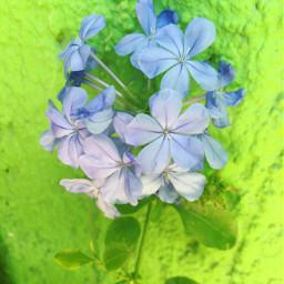 flores plumbago azul freetoedit