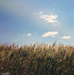 freetoedit wheatfield myoriginalphoto