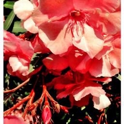 freetoedit flower flowerphotography flowers pink