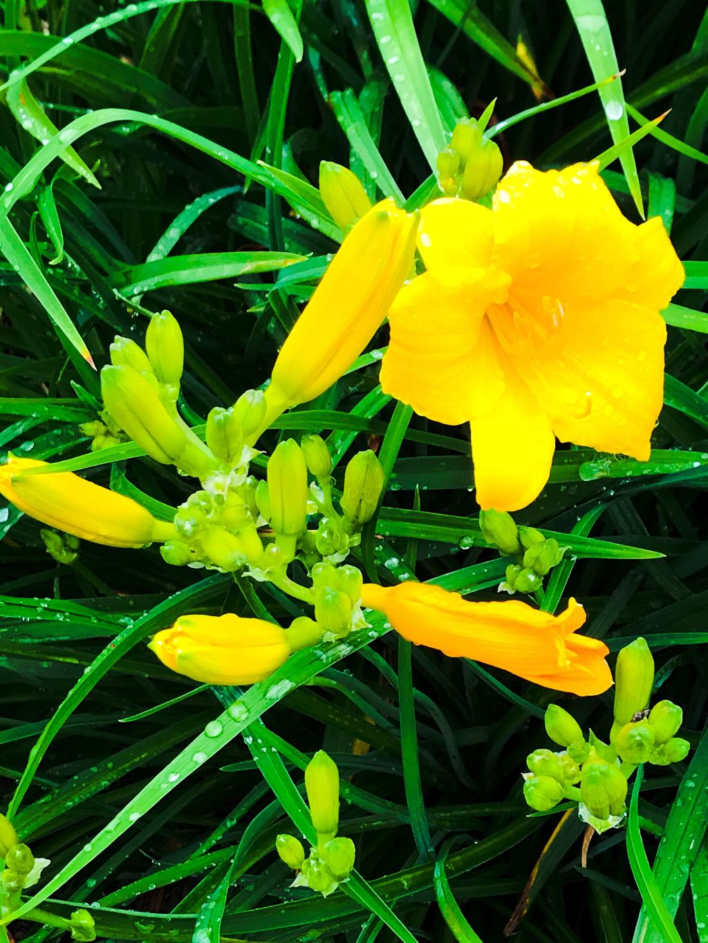 Yellow Dragon Lily Blooms And Fully Bloomedup Close Flo