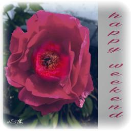 freetoedit flower beautifulrose emotions squarefit