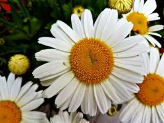 photography daisy flower nature emotions freetoedit