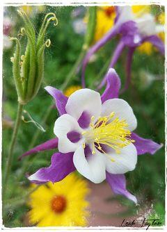 freetoedit flower columbine beautiful mygarden