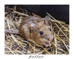 mouse petsandanimals wildanimal