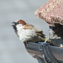 sparrow nesting bird nature wildlife