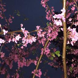blossom japanesemaple pino mapletree header