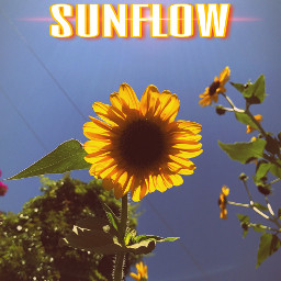 sunflow sunflower flower sun tumblr freetoedit