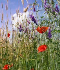 myphoto nature grain flowers freetoedit
