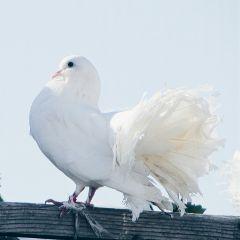 freetoedit denitsapavlova photography pigeon