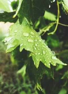 freetoedit rainyday waterdrops leafs photography