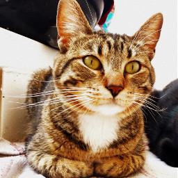 gato gata mininos minino cat freetoedit