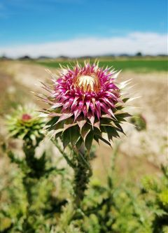 thistle weed flower nature favorites