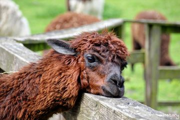 alpaca zoo petsandanimals photography myphoto
