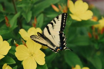 freetoedit butterfly yellow flowers photography