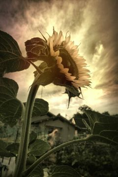 summer photography sunflower freetoedit