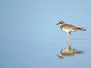 nature photography wildlife bird killdeer freetoedit