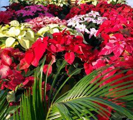 winter christmas flowers flower poinsettias dpcflowershops