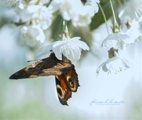dpcbutterfly schmetterling blossoms springtime soft