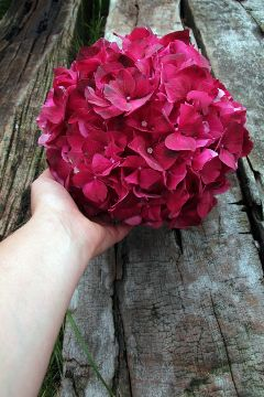 freetoedit flower hydrangea nature naturephotography
