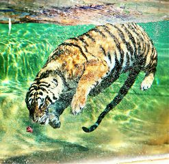 colorful emotions photography inthewater tiger