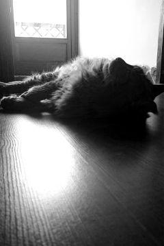 lion reflector sunlight mainecoon