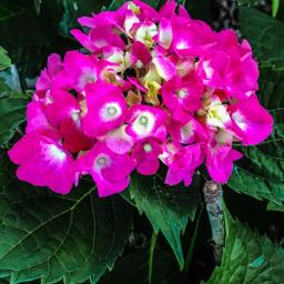 petalsandblooms fragile serene beautiful lovepink