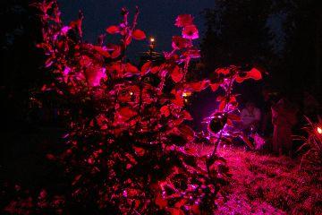 magenta roses night dark lights