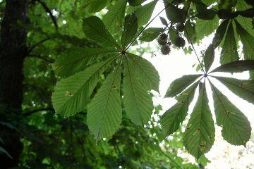 chestnut green leaves summer