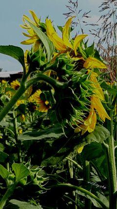 sunflower yellowandgreen nature flower