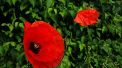 poppy flower insect photography