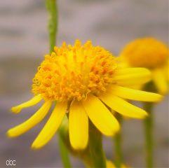 freetoedit bokeh yellow flower daisy