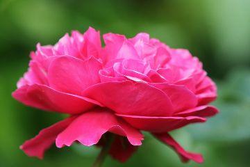 rose pink flower green