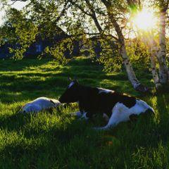morning sunrise sun cow colorful freetoedit