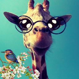 wapcartooneyes giraffe bird cartooneyes freetoedit